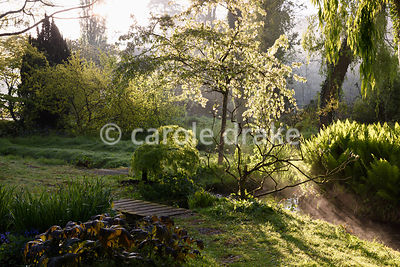 A blosoming cherry tree illuminated beside a stream running through the Jaqpanese garden at Heale House, Middle Woodford, Wiltshire on a frosty April morning