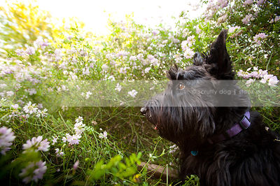 headshot of black scottie dog buried in summer flowers
