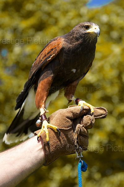 Harris Hawk Bird of Prey on Handlers Gloved Hand