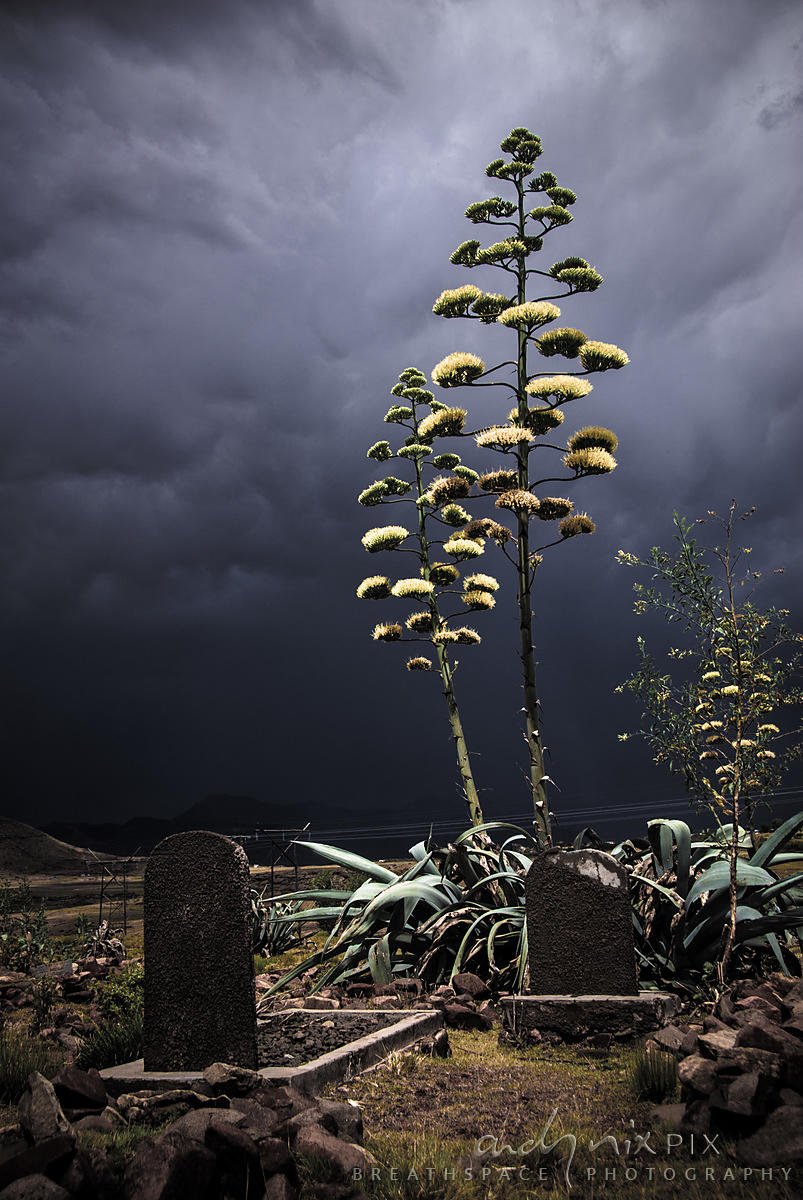 Dark thunderclouds form a background for yukka plants growing in a tiny graveyard with a few olf gravestones outside a rural village.