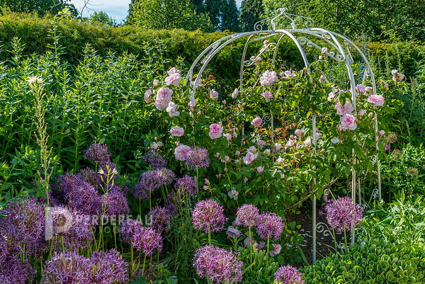 "Rosa ""Barbara Austin"" on metal arch  with allium christophii in the foreground"