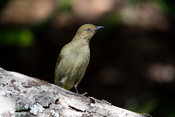 Sombre greenbul, Andropadus importunus, Wilderness, South Africa
