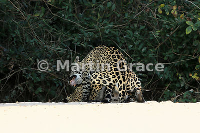 Female Jaguar (Panthera onca) 'Hunter' (barely visible) is mated by 'Hero', Three Brothers River, Northern Pantanal, Mato Grosso, Brazil. Image 19 of 62; elapsed time 30mins