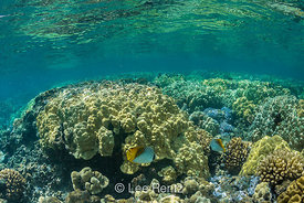 Pair of Threadfin Butterflyfish and Coral Reef off Big Island of Hawaii