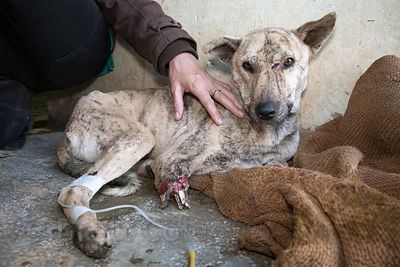 Staff at the Tree of Life for Animals rescue center in Pushkar, India treat a dog from nearby Ajmer that was hit by a train, severing its front legs