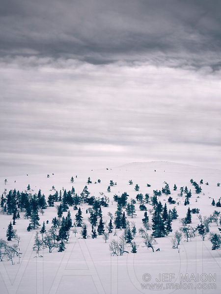 Spruce trees on snow hill