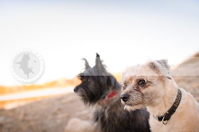 two small expressive terrier dogs sitting together on beach