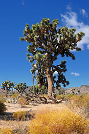 Arbre de Josué 5 Joshua Tree Park Californie USA 10/12