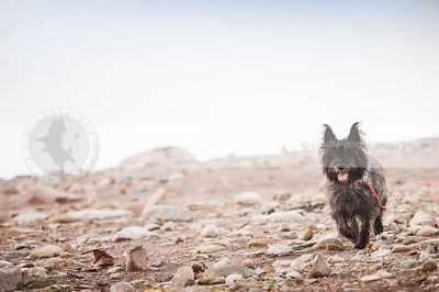 little cairn terrier dog walking in beach landscape