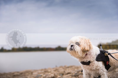 cute little shih tzu dog in wheelchair on lake shore beach with minimal background