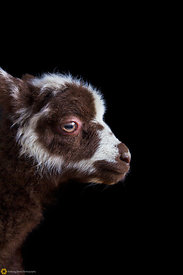 Lamb Portrait #10