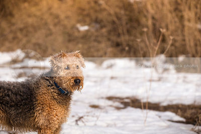 handsome airedale terrier standing in winter field