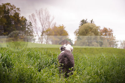 shaggy english sheepdog from behind looking away in field
