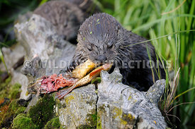 River Otter Pup Mouthful 1