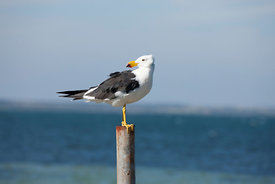 Adult Pacific Gull
