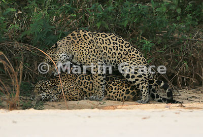 Male Jaguar 'Hero' (Panthera onca) mates with female 'Hunter', Three Brothers River, Northern Pantanal, Mato Grosso, Brazil. Image 43 of 62; elapsed time 1h 35mins