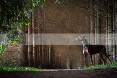 calm red and tan doberman dog standing in pine forest