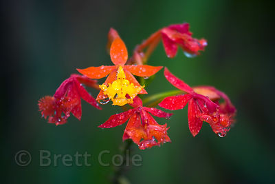 Jewel-like raindrops on (sp.) flower (wild, not cultivated), Las Nubes, Costa Rica