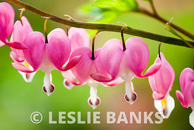Bleeding Hearts images