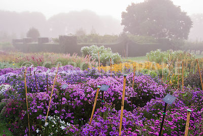 Stock beds full of asters, rudbeckias and penstemons, with yew hedging behind, on a misty autumn morning. Waterperry Gardens, Wheatley, Oxfordshire, UK