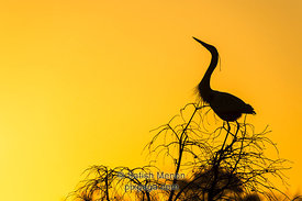 Blue Heron Silhouette, Charleston, SC, USA