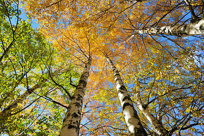 Birch trees. Autumn in the Serra da Estrela Nature Park, Portugal