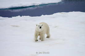 A curious female polar bear stops to mind her surroundings on an ice floe near Svalbard, Norway.
