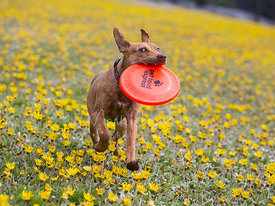 dog running through dandelions with frisbee