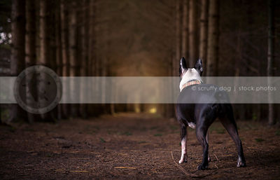 black and white dog from behind standing in pine trees with glow