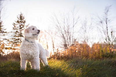 alert overweight doodle dog standing in grass clearing at sunset