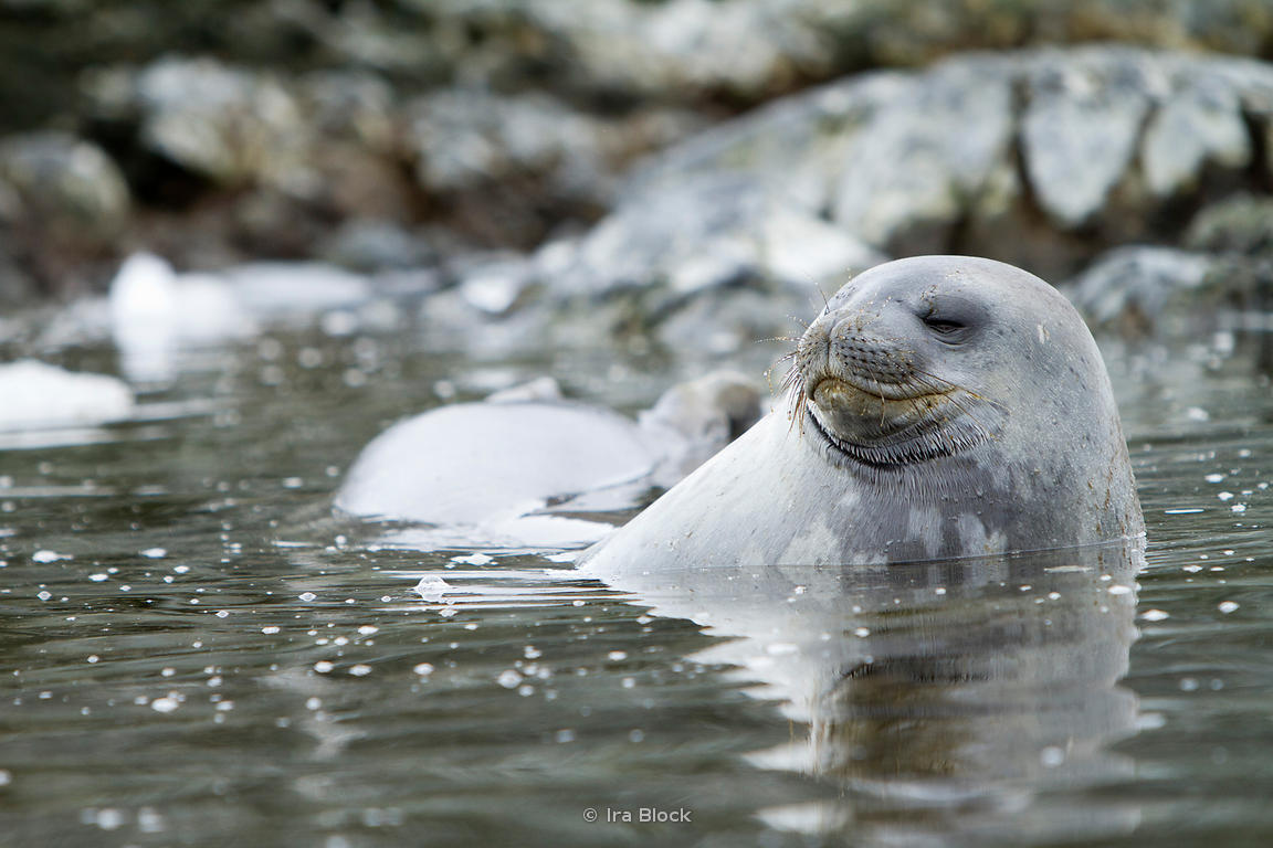 A weddell seal playing in the ocean around the Antarctic Peninsula.