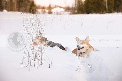 two short corgi dogs buried in deep snow in winter field