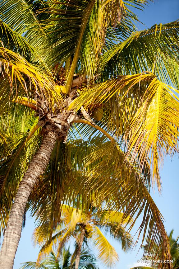 PALM TREE KEY WEST FLORIDA COLOR VERTICAL