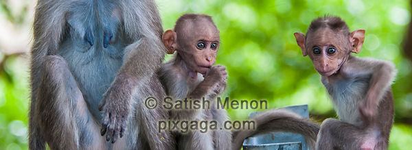Bonnet Macaque babies, Chinnar Wildlife Sanctuary, Idukki, Kerala, INDIA
