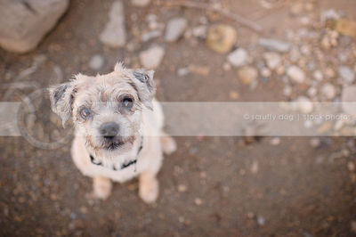 little terrier dog staring up from sand