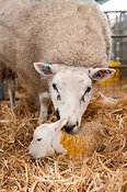 Sheep with newborn lamb in lambing shed. Cumbria