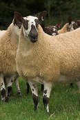 Welsh mules gimmers , out of Beulah ewes sired by a Blue Faced leicester ram