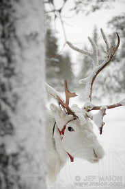 Reindeer behind a tree