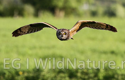 Short-eared owl/Jordugle - Norway