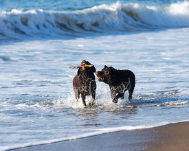 Two Chocolate Brown Labs Playing in Surf