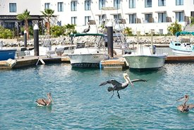 Pelican flying Away