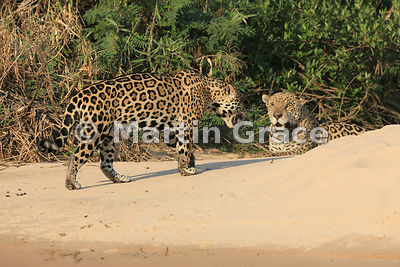 Female Jaguar 'Hunter' (Panthera onca) walks closely past 'Hero', Three Brothers River, Northern Pantanal, Mato Grosso, Brazil. Image 37 of 62; elapsed time 48mins