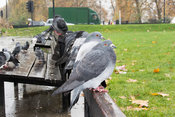 Feral pigeons sitting on park bench in London, UK