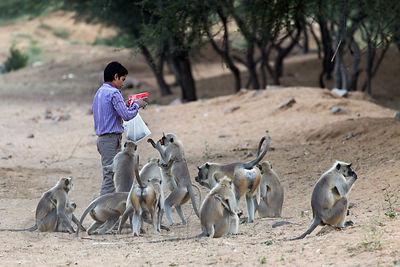A man feeds langur monkeys on Tuesday, Pushkar, Rajasthan, India. Tuesday and Saturday are considered days for charity by Hindus, and many people feed monkeys on these days. It causes countless monkeys to become killed or injured by traffic.