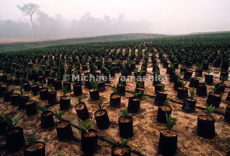 Thousands of palm trees are planted to regrow what was lost in Indonesia's Plague of Fire.
