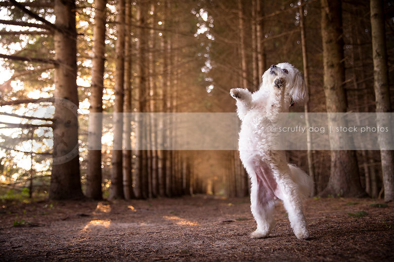 cute white dog dancing on two legs in pine forest with sunshine