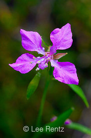 Clarkia rhomboidea in the Columbia River Gorge