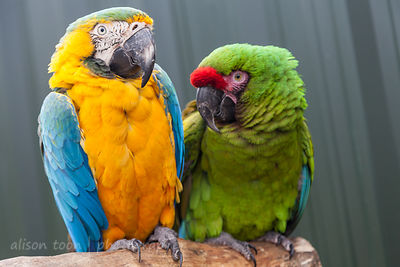 A pair of macaws or parrots