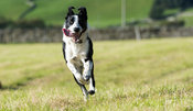 Border Collie dog running in field, North Yorkshire, UK.
