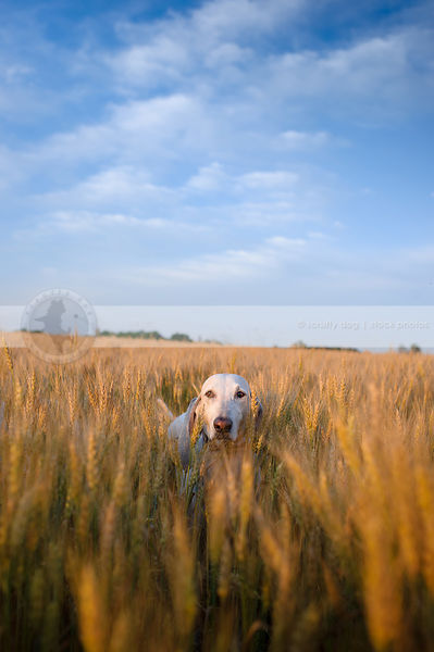 white hound standing deep in wheat under blue sky